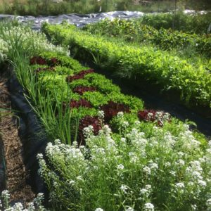 Our diverse fields with living soils, flowers, lettuces, scallions, beans